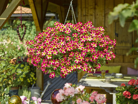 Petunia grandiflora Amore Queen of Hearts