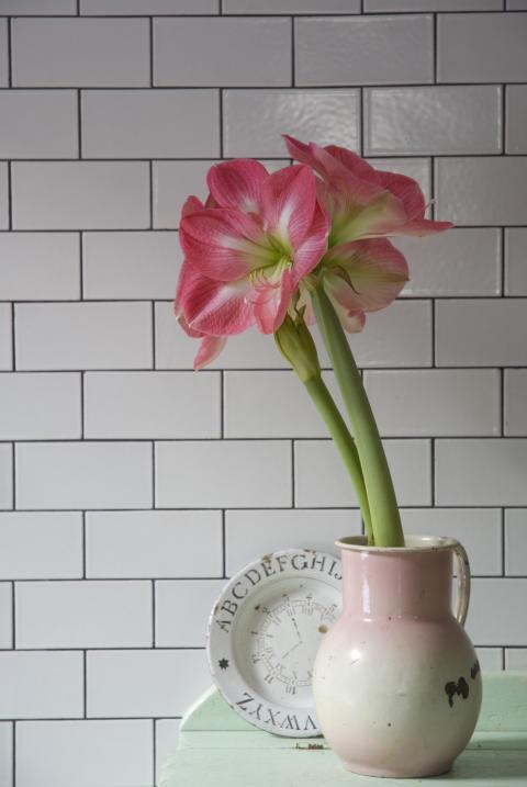 Rosa amaryllis i kruka