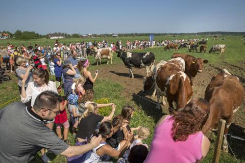 Dags för sommarbete hos Norrmejeriers mjölkbönder i Västerbotten