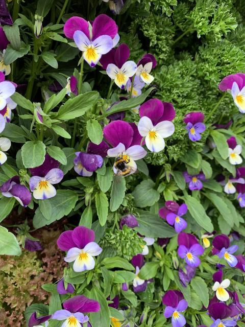 Växtvägg som pollinerare gillar
