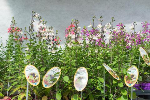 Salvia Heatwave