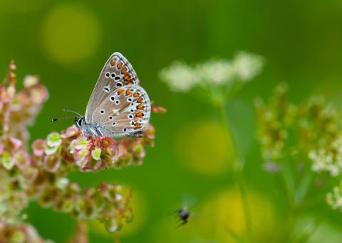 Fler fjärilar där hagar omges av skog