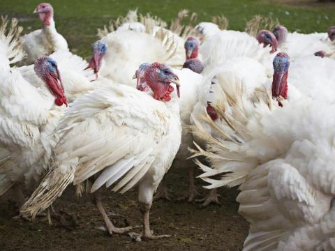 Fågelinfluensa hos en kalkonbesättning i Skåne