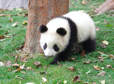 Blueair adopts Baby Panda JOY following launch of new playful JOY collection
