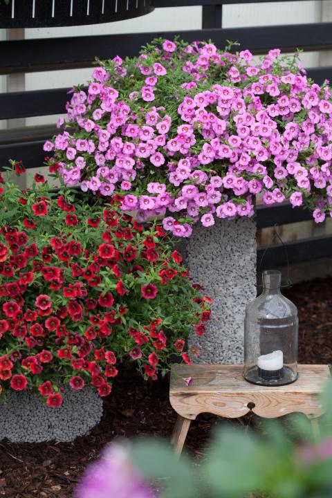 Småpetunia 'Pomegranate Punch' och 'Hot Pink'