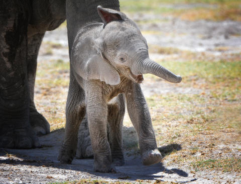 Elefantungarna – de levande offren av tjuvjakten