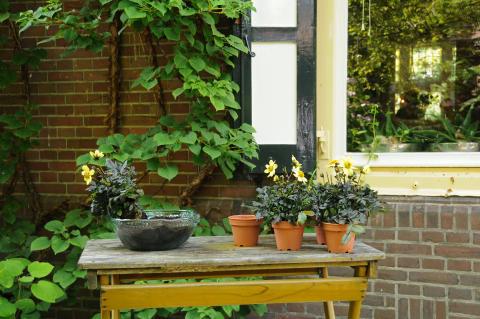 Samplantering av mörkbladig dahlia - steg 1
