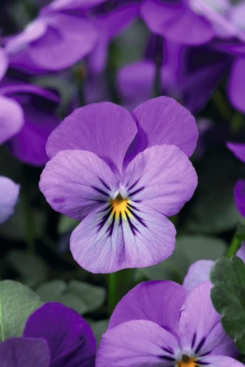 Lavendelblå hornviol