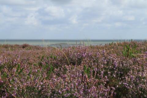 Die Braderuper Heide ist die größte zusammenhängende Heidefläche Schleswig-Holsteins