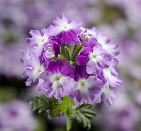 Trädgårdsverbena  Lanai Twister Purple