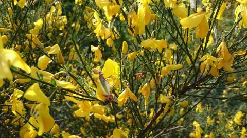 Kvistar från denna buske används till att knyta upp vinrankorna