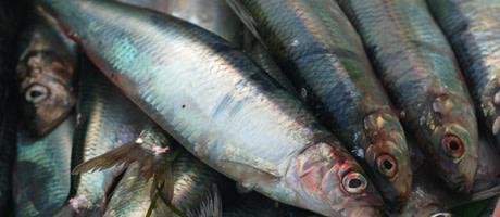 Mindre torsk och mer sill i nya fiskekvoter