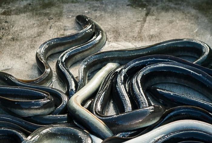 HaV föreslår förbud för ålfiske under tre månader för att skydda den hotade ålen