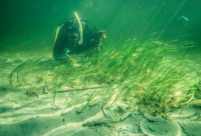 Oroande utveckling för ålgräset: En yta stor som Tjörn har försvunnit