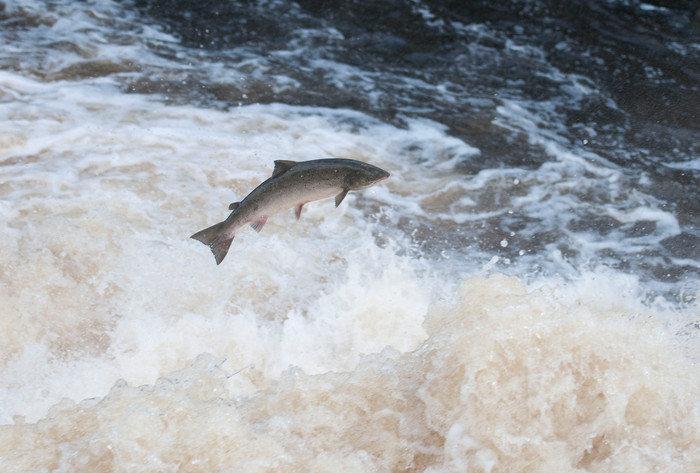 Fler laxar får fångas i Norrland – och fisket EU-anpassas