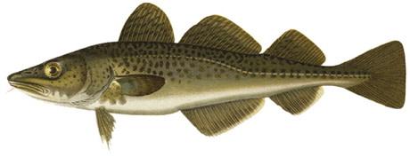 Ljusare för torsken i Östersjön