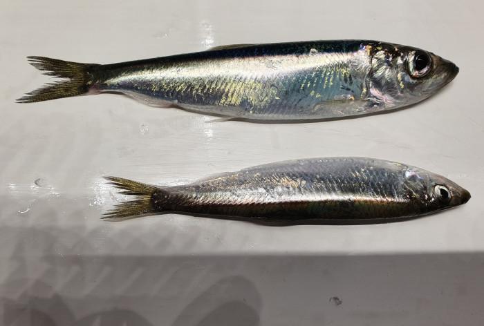Småskaligt kustfiske prioriteras med förnyade regler