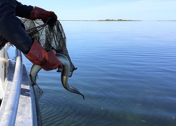 Olagligt ålfiske fortsätter – stor ökning av HaV:s beslag av ryssjor