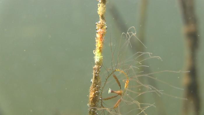 Havs- och vattenmyndigheten: Flera rapporter om fynd av klängmaneter på västkusten