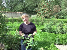 Video: Sådan planter du nye roser i et gammelt rosenbed
