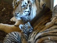 Tigerungar babyboom Orsa Rovdjurspark 2018