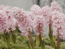 Hyacinter med Karl Fredrik på Eklaholm