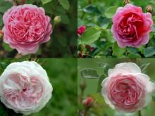 Rosen symboliserer kærlighed - Det samme gør vores British Rose serie.
