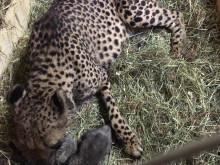 Två gepardungar födda på Borås Djurpark