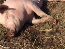 Grisar från Pig o Glad