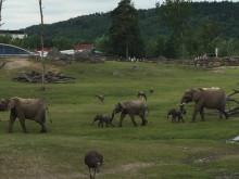 Två elefantkalvar på savannen i Borås Djurpark