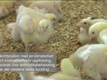 Titta in till kycklingarna hos en svensk bonde
