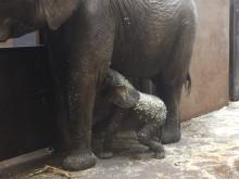 Elefantkalven på Borås Djurpark har börjat dia.