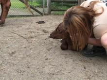 Ringamålako kalv född på Borås Djurpark