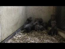 Gepardungarna har börjat utveckla en skyddsmekanism