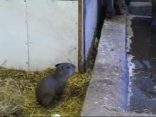 Kapybaraunge född i Parken Zoo