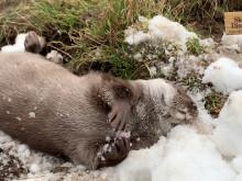 Skånes Djurpark levererar snö till djuren