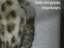 Persisk leopardunge