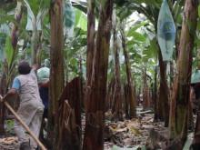 Daily Greens ekologiska bananer