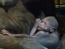 Den nya gorillaungen