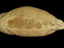 Fossil insekstpuppa innehöll gammal parasit
