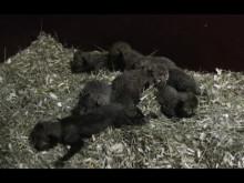 Gepardungar 3 dagar gamla