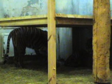 Parken Zoo sätter ihop sina sumatratigrar