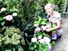 Trädgårdsprofilen Annika Christensen undersöker den prisbelönta trädgårdshortensian Forever&Ever