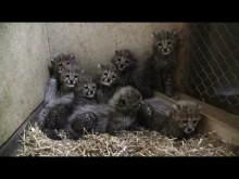 Gepardungarna i Borås Djurpark växer snabbt!