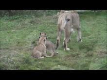 Video asiatiska lejonungar på Parken Zoo Eskilstuna