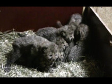 Gepardungar två veckor gamla