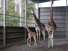 Giraffkalven Radi i Borås Djurpark