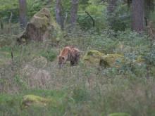 Hyenavalp född på Borås Djurpark