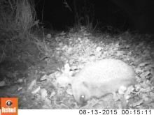 Hedgehogs at Woburn Forest caught on camera