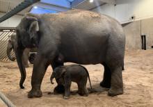 Kungens elefant har fött en kalv på Kolmården